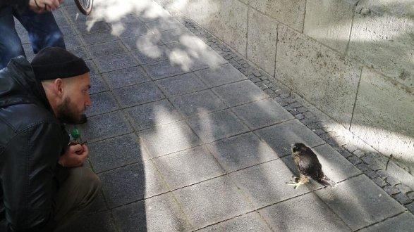 Verschüchtert sitzt der Falke am Sonntag in St. Johannis auf dem Gehsteig. Passanten hatten den Tierschutzverein Noris gerufen.
